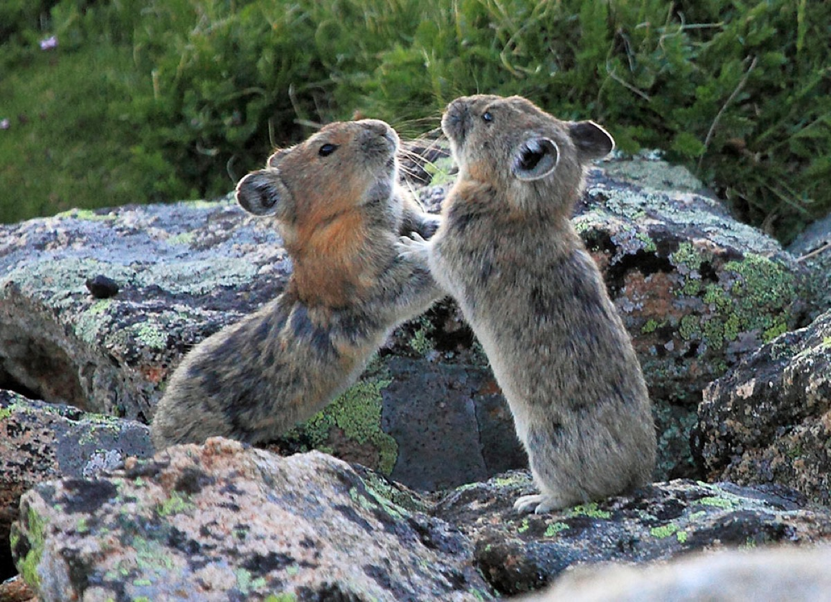 two pikas standing on their hind legs on a rock batting each other with their arms