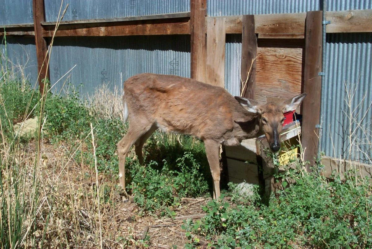 a thin, emaciated deer with chronic wasting disease against a metal wall
