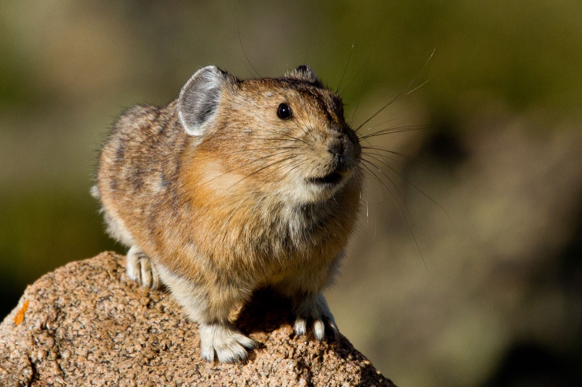 small round pika with giant ears perched alone on a rock