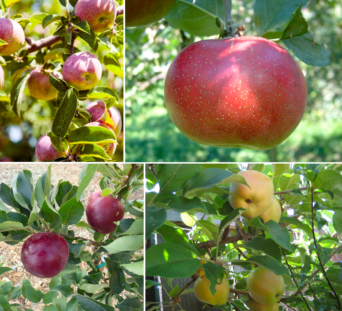 a collage of four different apples. the crab apple is small, the rambo is enormous, the surprise is yellow, and the arkansas black is very dark