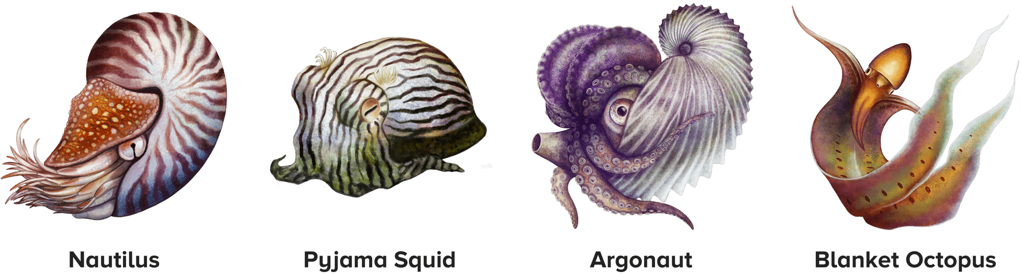 four illustrated cephalopods, including the nautilus, pyjama squid, argonaut, and the blanket octopus
