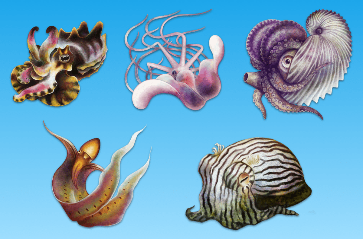 a variety of illustrated cephalopods
