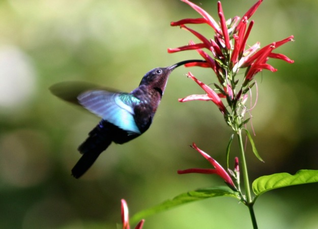 a hummingbird drinks nectar from a pink flower