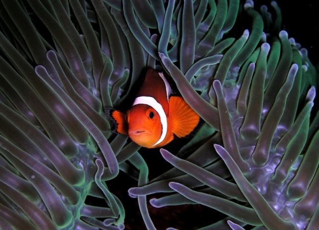 a clown fish is nestled in the protection of a purple shimmery anemone