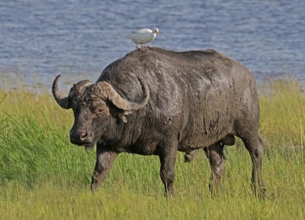 a bird sits atop a large african buffalo