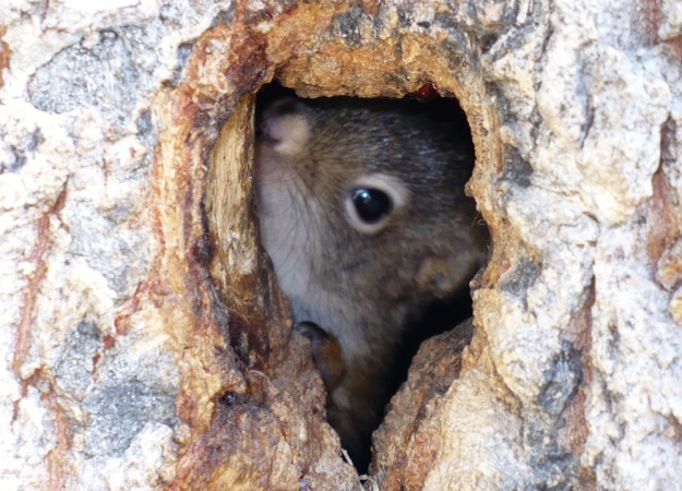 a squirrel peeks it's face from a small hole in a tree