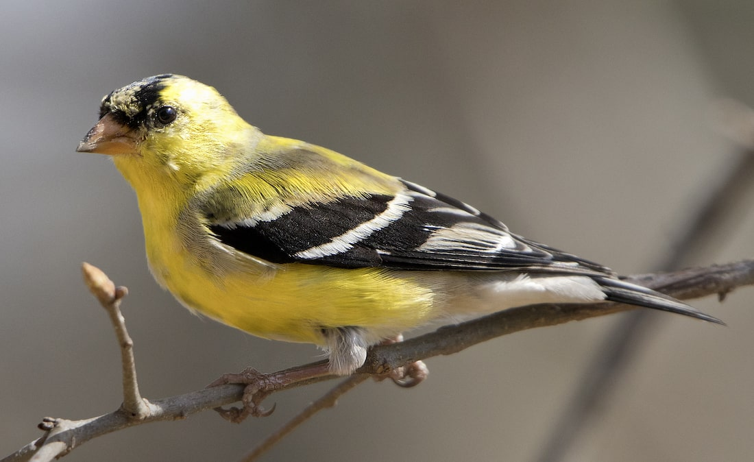 small yellow bird with black marking on its wings sits on a branch