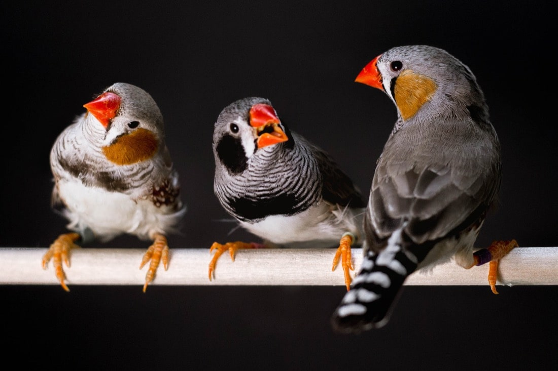 three birds sitting in a row on a stick with a black background