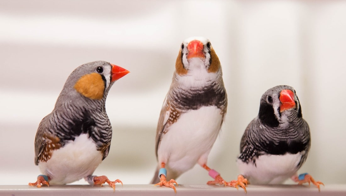 three birds sitting next to each other and looking at the camera against a whitish background