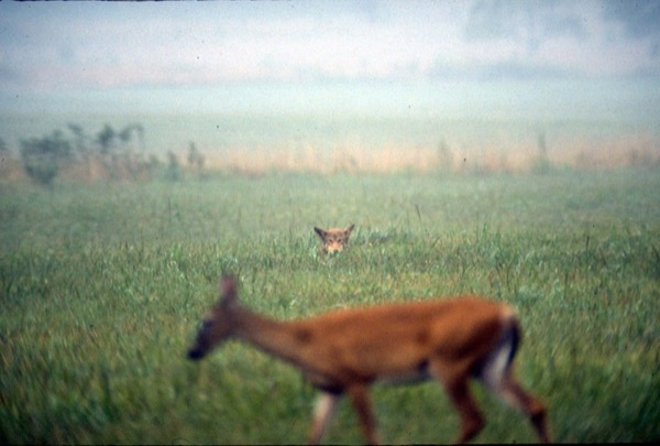 a red wolf in the distance pokes its head out from tall grass, watching out to prey on a deer