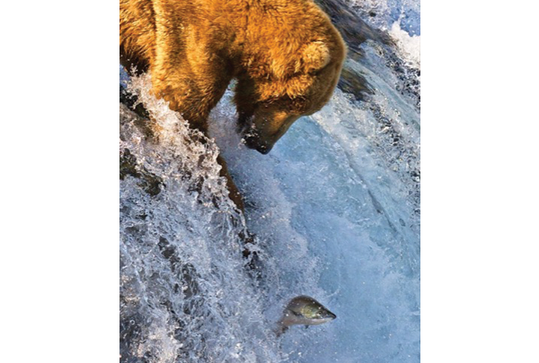 a bear hunts for a fish leaping out of a waterfall
