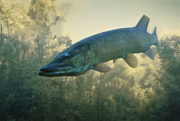 a large long fish