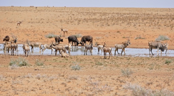a savannah scene with zebras, buffalo, and antelope around a watering hole