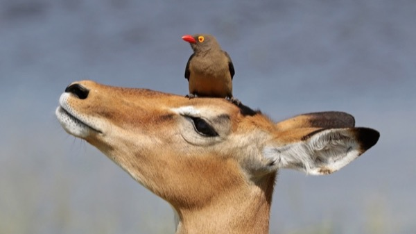 a bird sits on top of the head of a deer