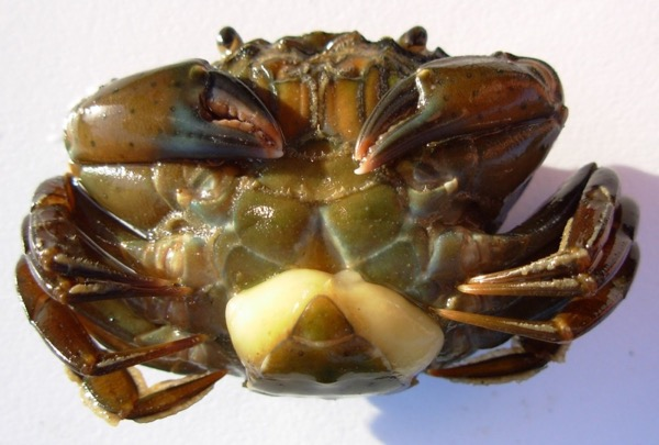 a large crab belly up, with a large white parasite near its bottom