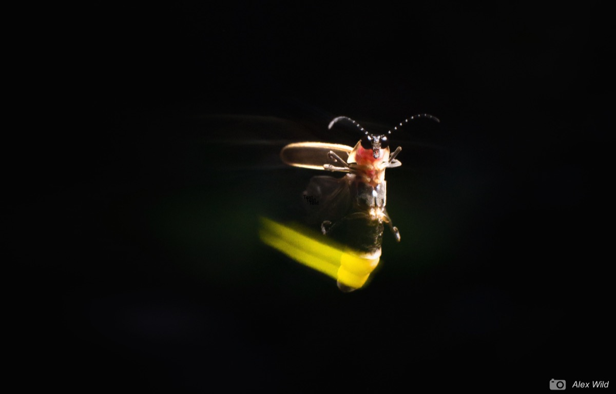 a close up of a firefly with a glowing body -- the light is slightly blurred as the bug is in motion