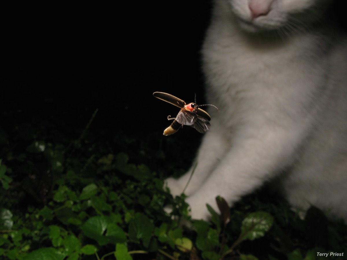 a cat looks curiously at a glowing firefly