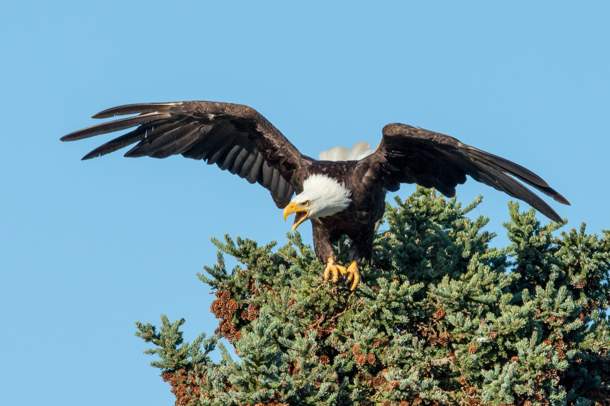a bald eagle, wings extended, screeching, at the top of a pine tree