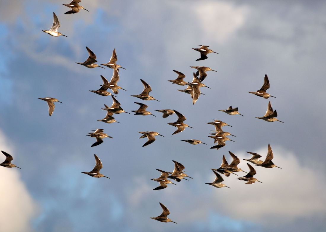flock of roughly 30 birds flying in a group together against cloudy blue sky. the have large bills