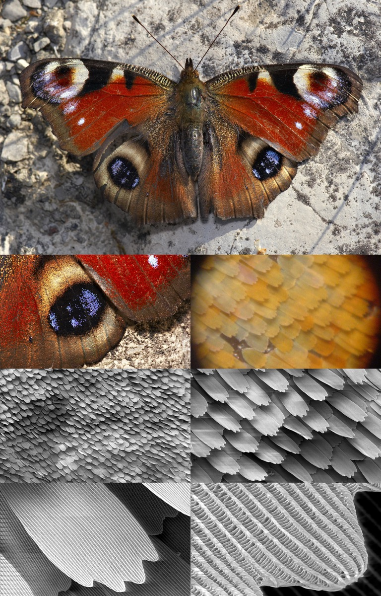 a series of images zooming in on moth wings, showing more detail each time