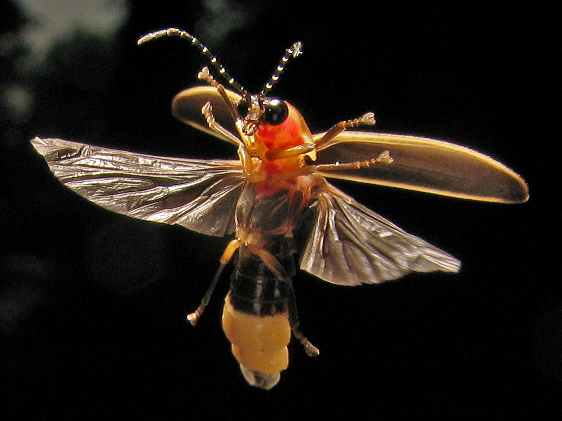 a firefly in mid-flight, with its appendages spread out