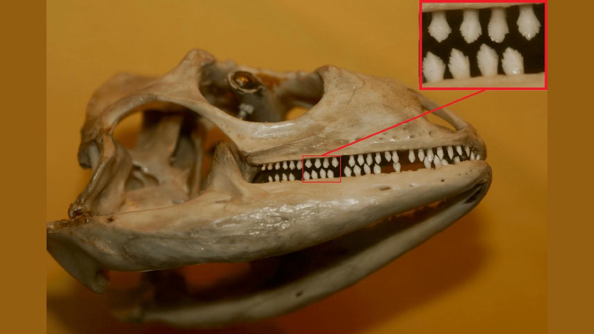 an iguana skull