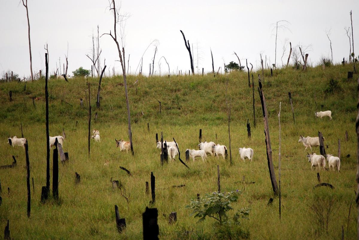 white cattle graze in the grass among burnt trees