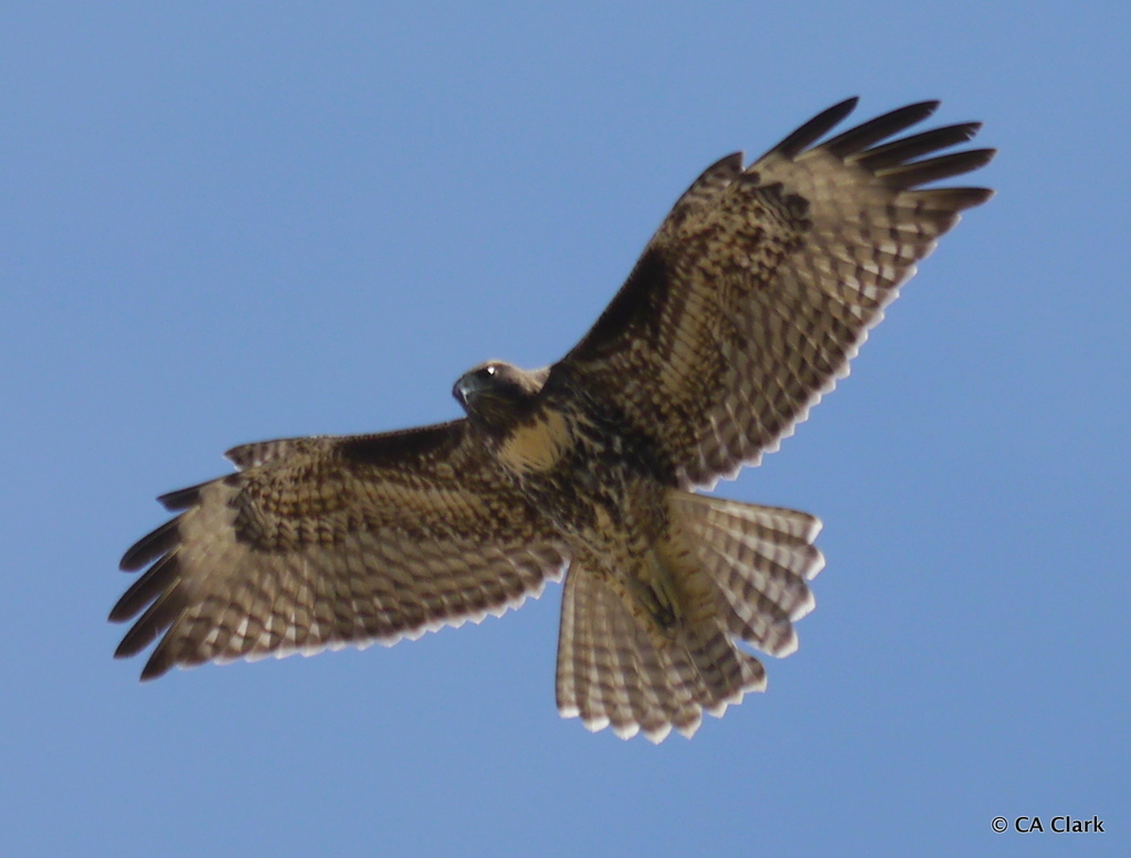 a large bird flies over our heads with spread wings and a fanned tail against a clear blue sky