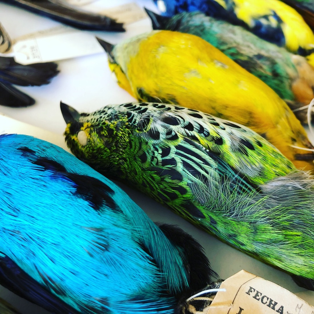 neon blue, green, and yellow bird specimens lying next to each other on a table