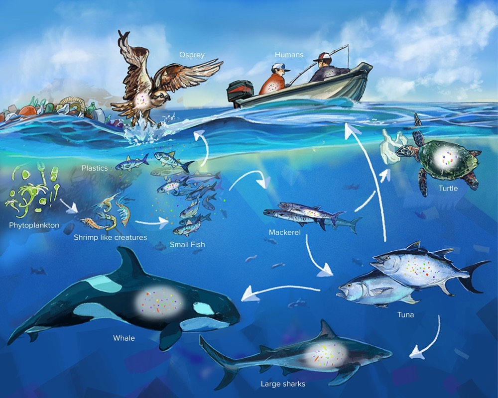 Pacific ocean food chain with microplastics shown: phytoplankton, shrimp-like creatures, small fish, mackerel, tuna, turtle, large sharks, and whale.