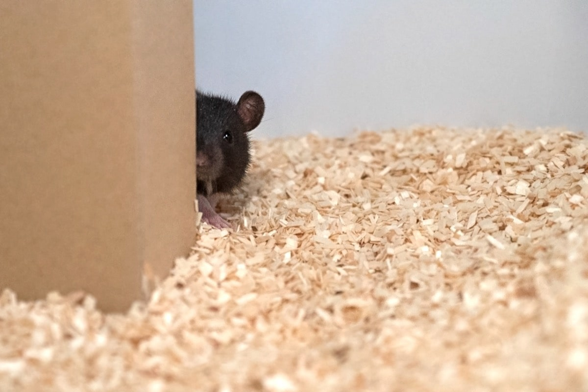 Rats Learn To Hide And Seek