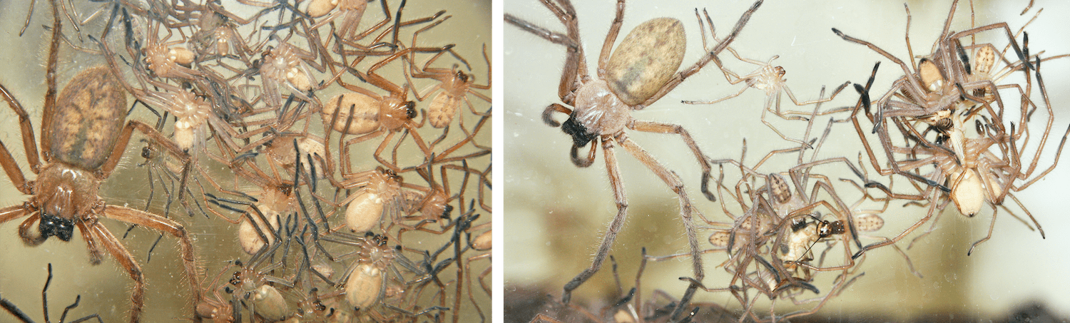 two photos. on the left is a a mass of tan spiders. they are a colony together, with a larger spider on the left and a bunch of smaller baby spiders to the right. the second photo is of spiders cluster together feeding on prey. a larger spider lingers on the left
