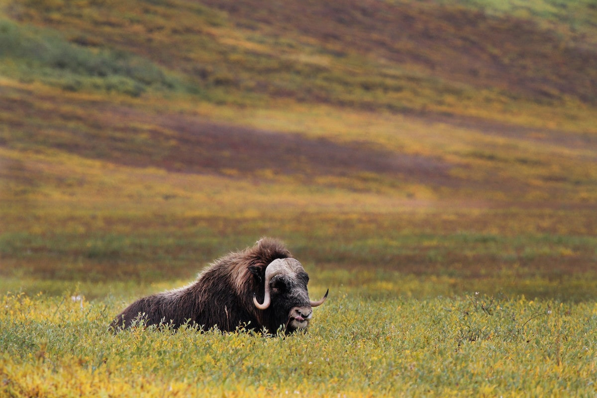 a lone musk ox in a grassy hilly field