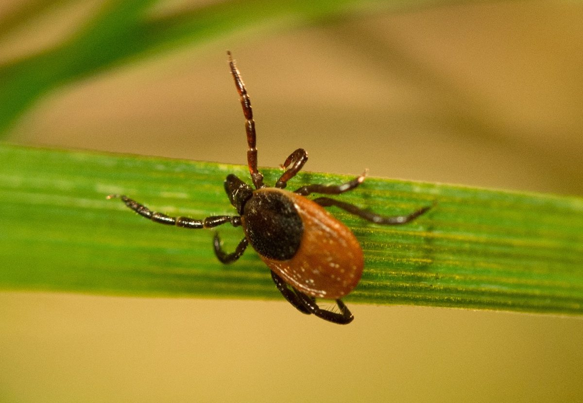 a tick with a tan body and dark black legs on a blade of grass