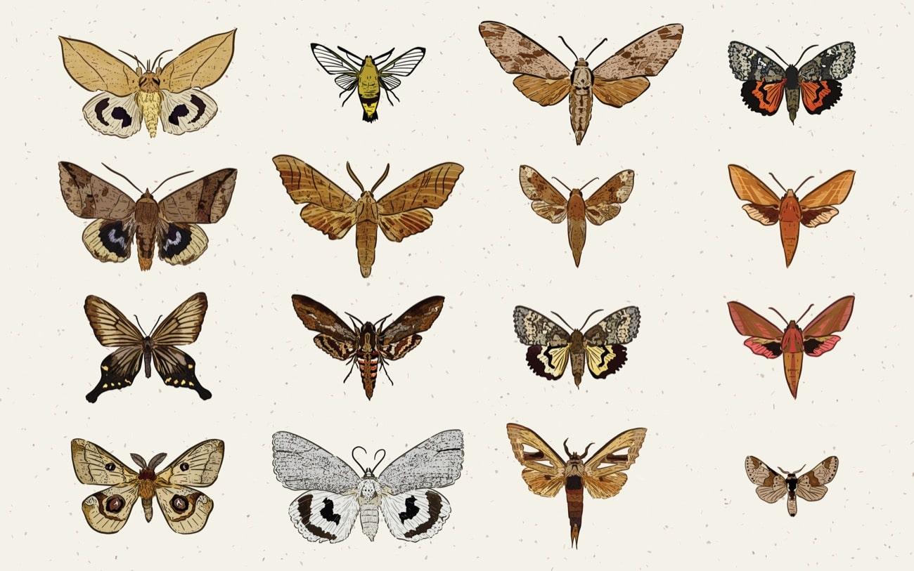 an illustration of 16 moths