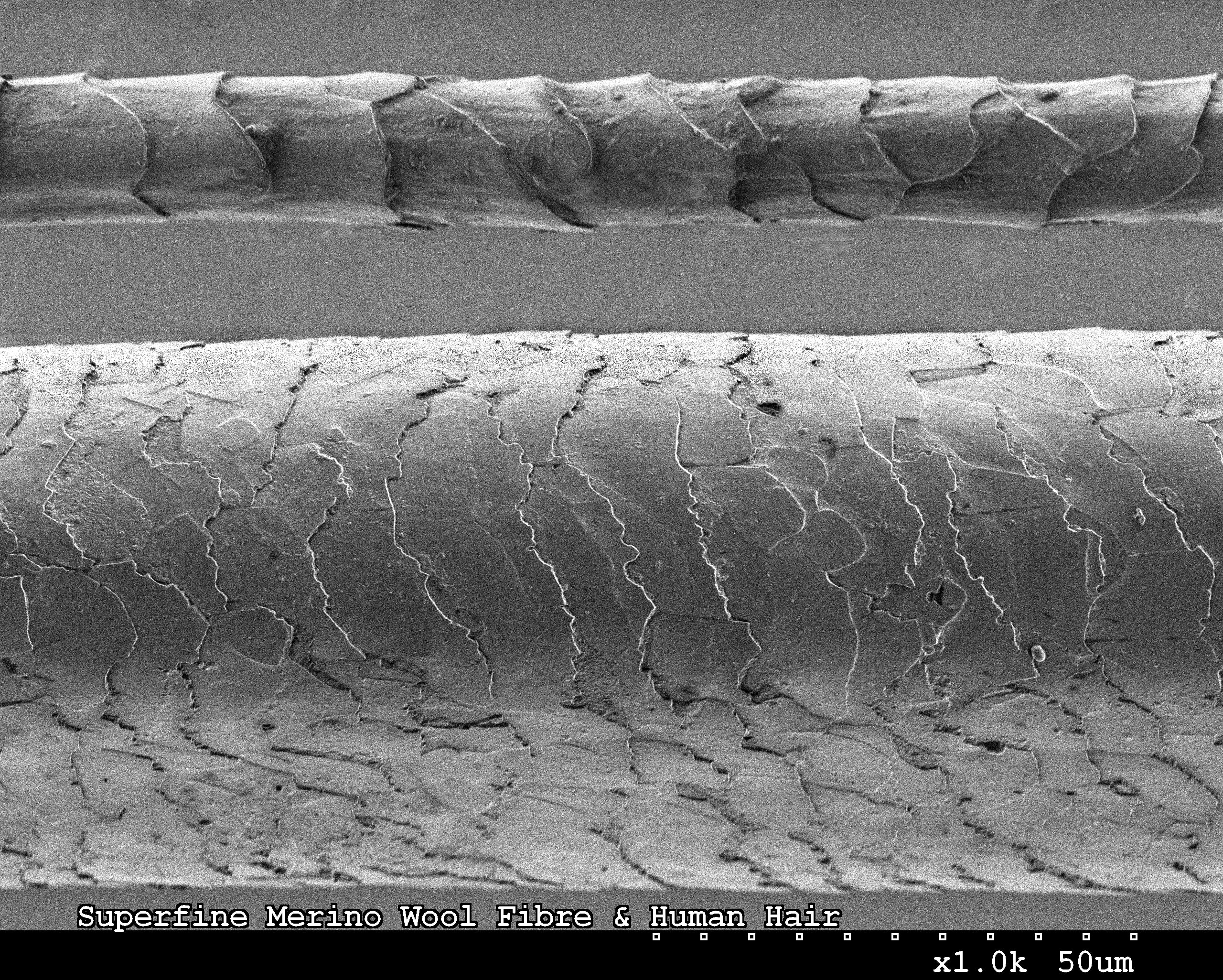 A scanning electron microscope image showing the difference in size and texture between a superfine Merino wool fibre (top) and a human hair