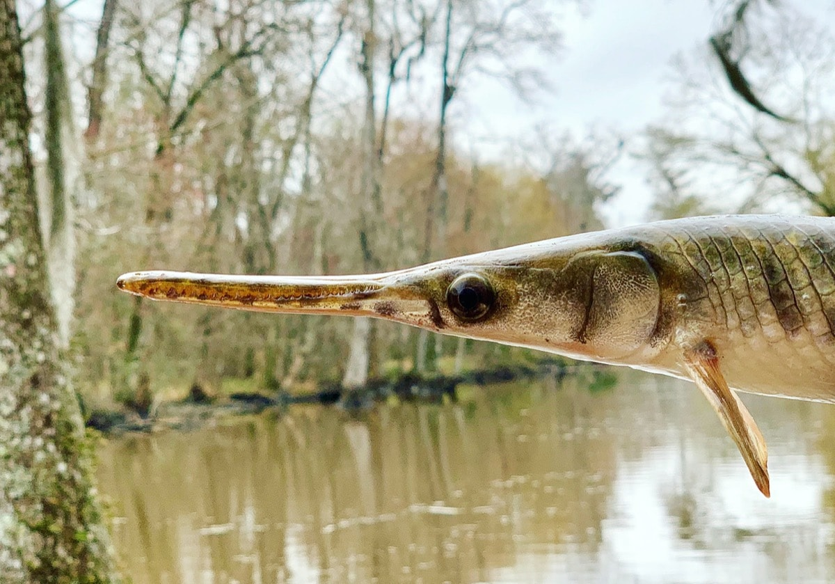 a close up of a spotted gar fish