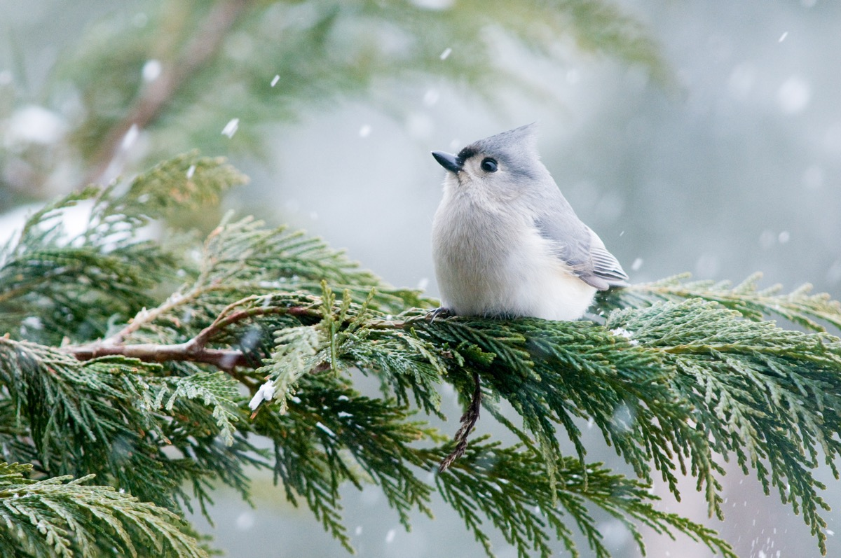 a small grey bird sits perched on a snowy branch