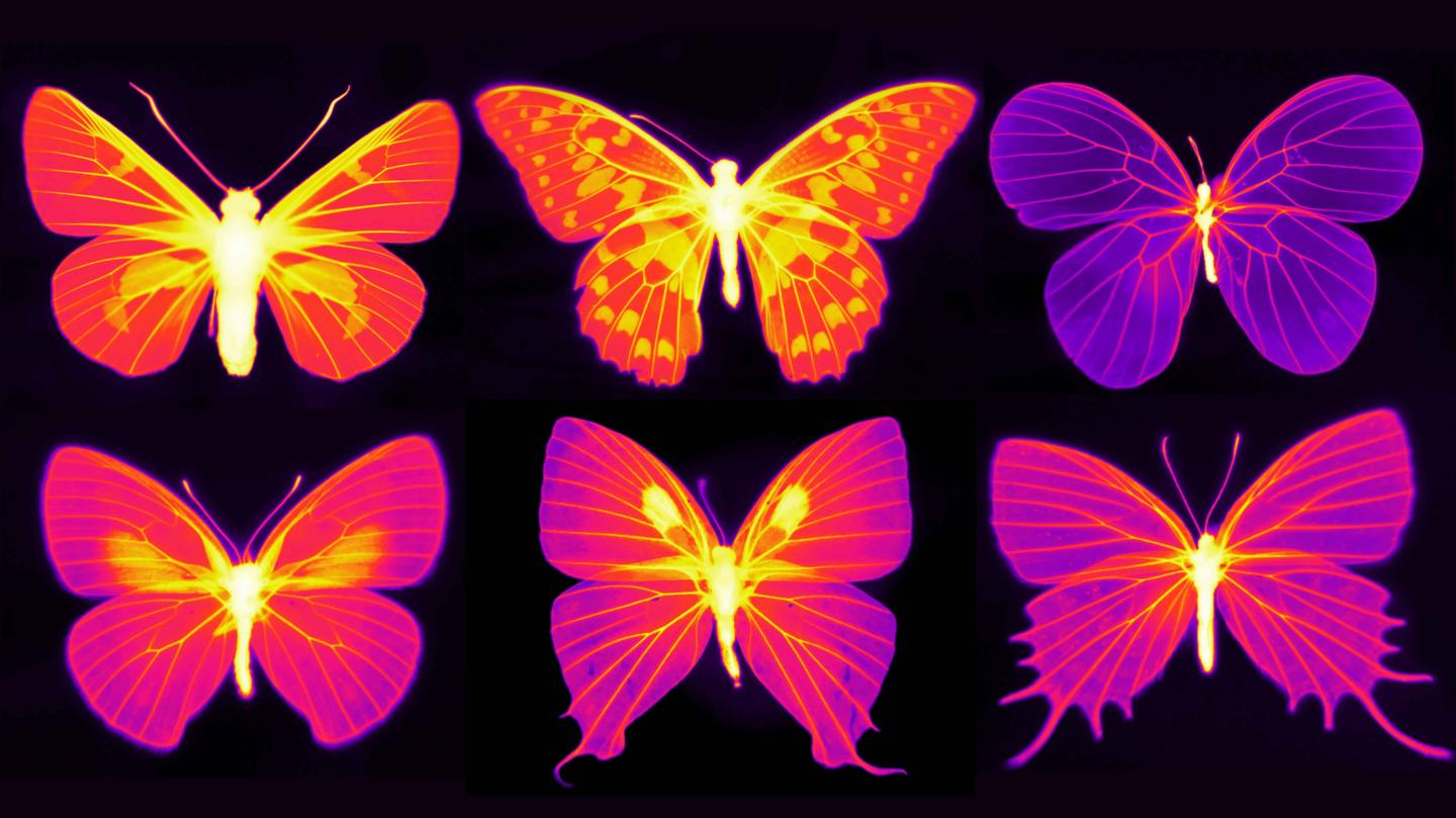 heatmaps of six butterflies