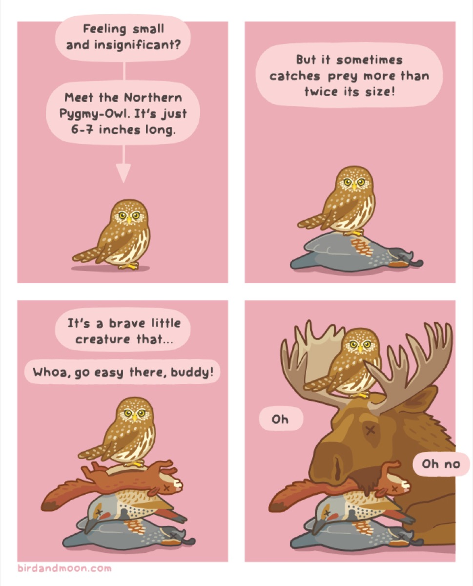 "a colored comic of an owl. panel 1: ""feeling small and insignificant"" with another bubble that reads ""meet the northern pygmy-owl. it's just 6-7 inches long"" pointing down to an owl. panel 2: ""but it sometimes catches prey more than twice its size!"" the owl stands above a dead pheasant. panel 3: ""it's a brave little creature... whoa, go easy there, buddy!"" the owl is now standing atop a pile of prey. panel 4: the owl now stands atop its prey AND a moose."