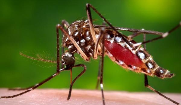 A female Aedes aegypti mosquito.