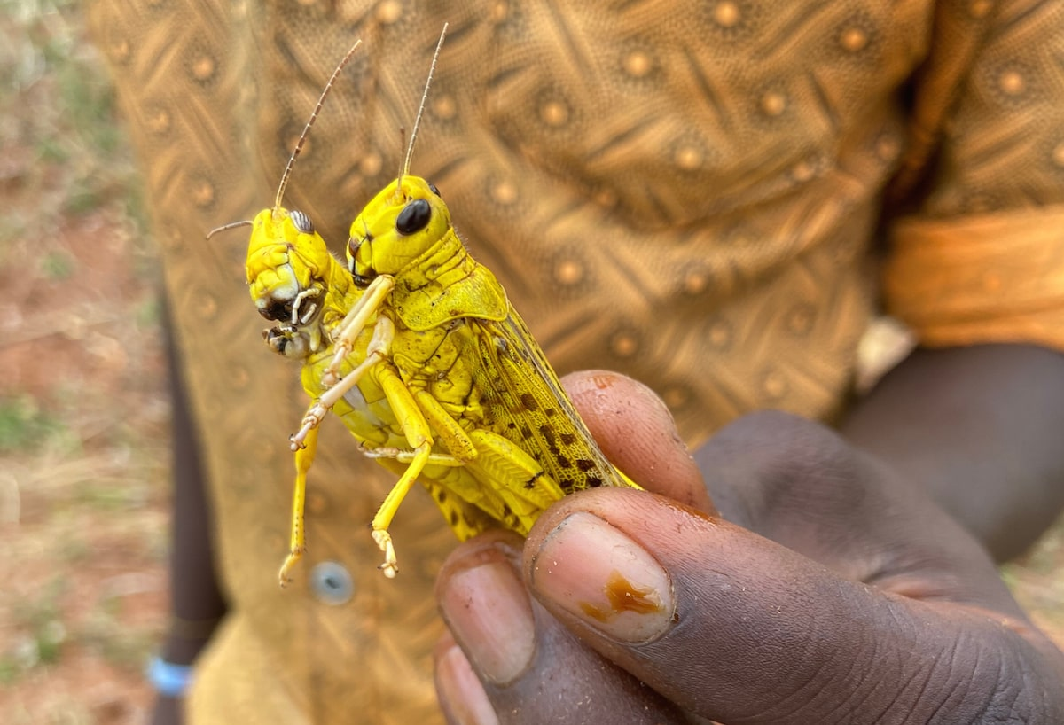 a man holds two yellow locusts