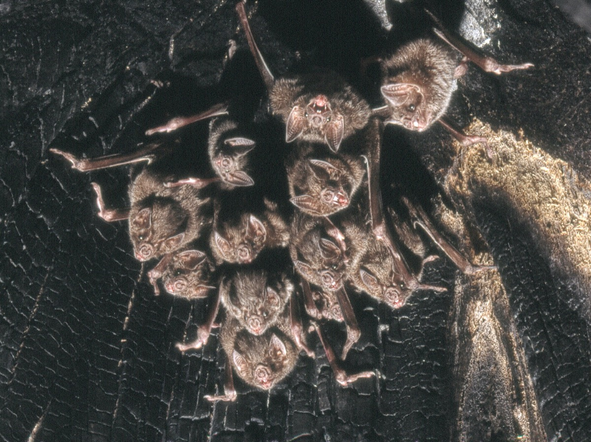 a roost of bats hanging from a cave