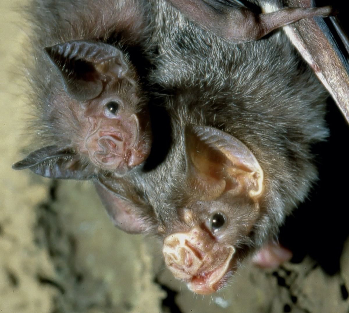 two bats nestled together in a cave
