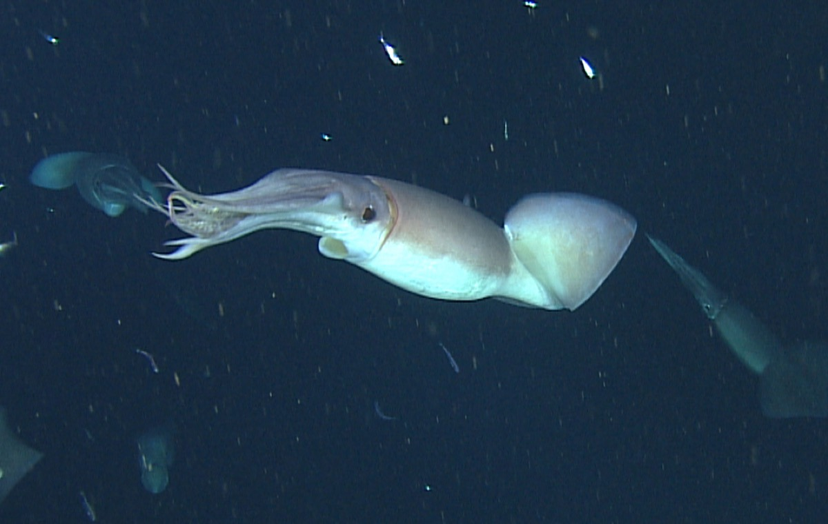 one squid. it's underside is a lighter white color, while it's top is a light red