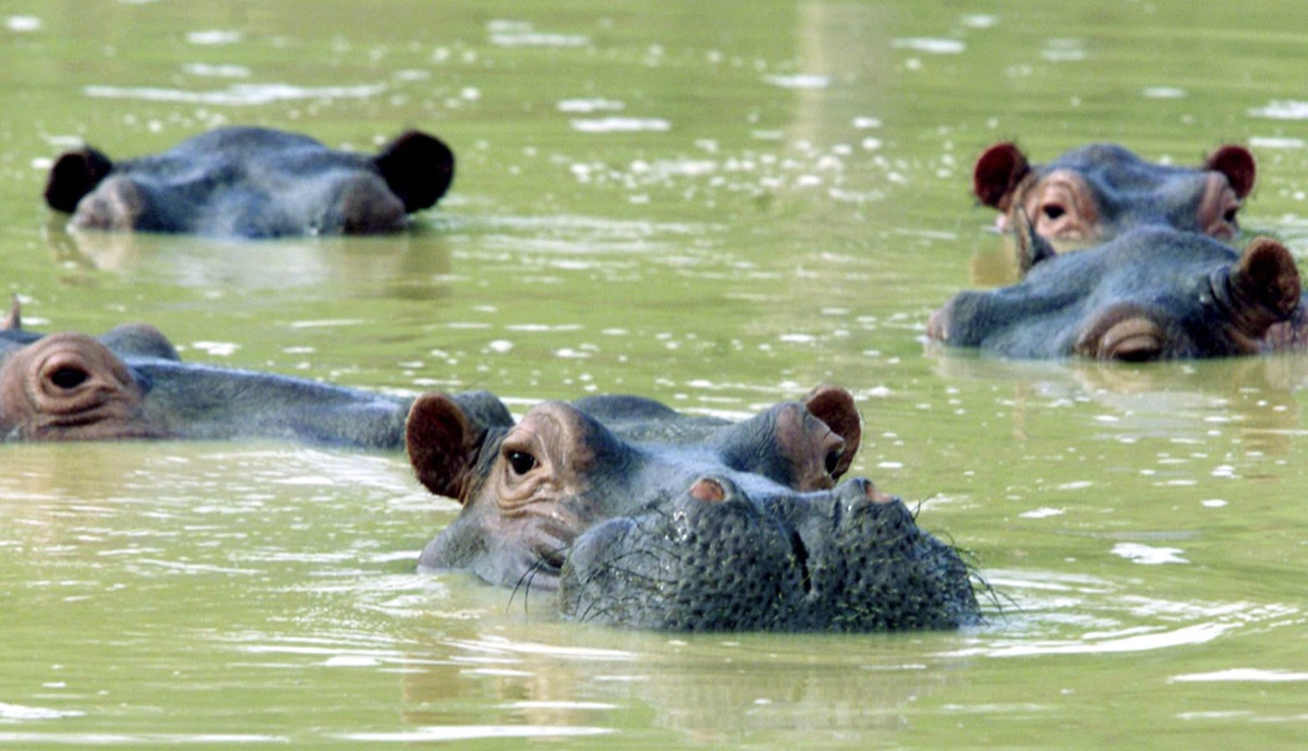 a herd of hippos poking their heads above water
