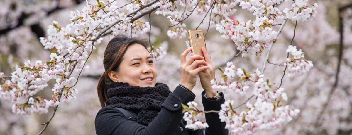 A woman holds her phone up to take photos of pink cherry blossoms on a tree