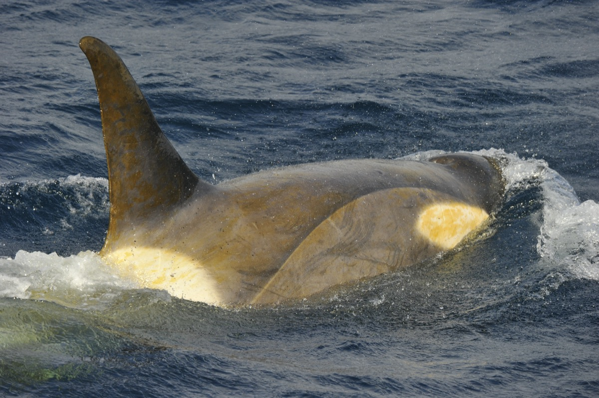 a close up of a whale swimming where you can clearly see a thin coating of yellow film over its skin