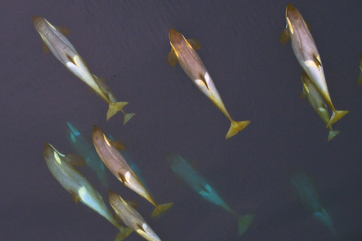 a pod of whales seen from over head. you can see some of them are coated in a yellow film