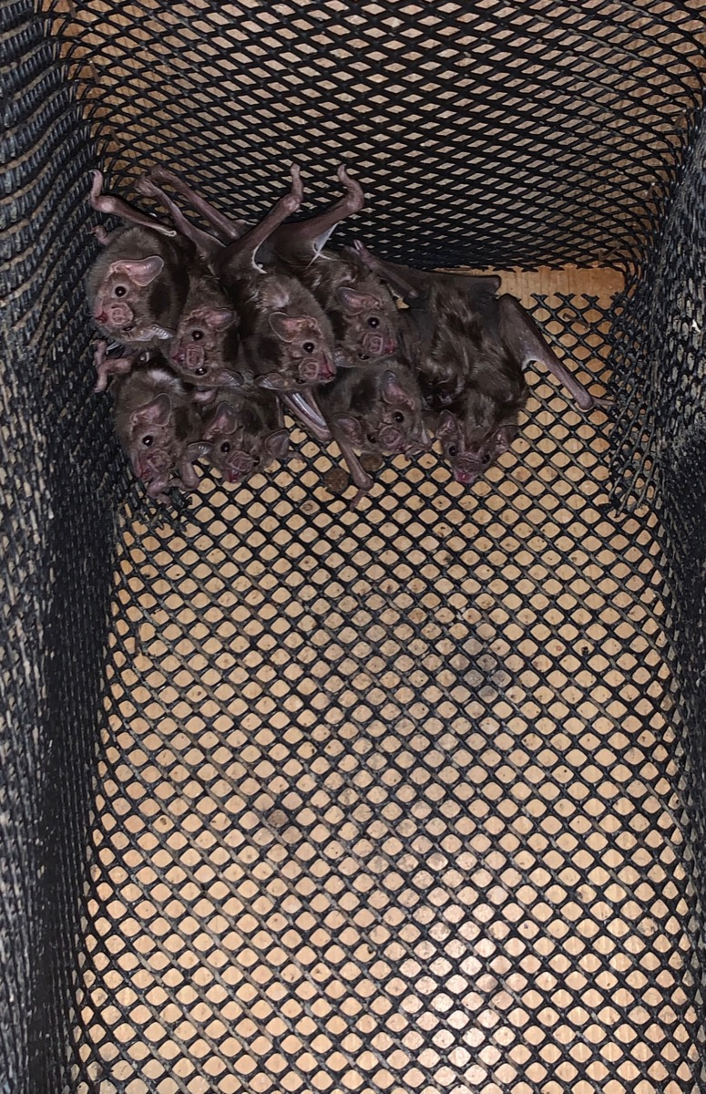 a roost of bats all hanging from the corner of a meshed cage